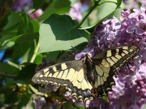 春天蝴蝶坐淡紫色灌木 图库摄影
