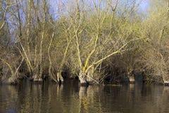 春天被充斥的杨柳森林 图库摄影