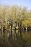 春天被充斥的杨柳森林 库存照片