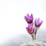 春天被隔绝的银莲花属花 免版税库存图片