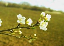 春天西府海棠苹果枝杈 库存照片