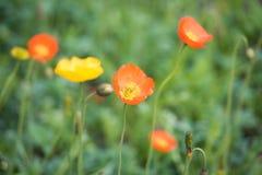 春天西藏红色Ge Sanghua 免版税图库摄影