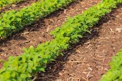 春天视域大豆植物行一个中西部的领域的 免版税库存照片