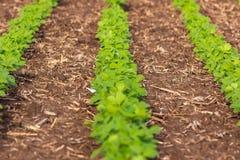 春天视域大豆植物行一个中西部的领域的 库存图片