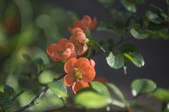 春天进展,红色花,被弄脏的自然背景 免版税库存图片