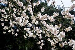 春天进展绽放 库存图片