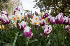 春天郁金香和水仙一个可爱的庭院  图库摄影