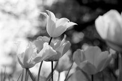 春天郁金香在公园,黑白 库存照片