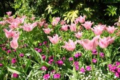 春天郁金香在圣詹姆斯公园,伦敦 免版税图库摄影