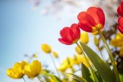 春天郁金香在阳光下开花反对蓝天 库存照片