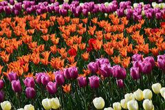春天郁金香庭院在阳光下 免版税库存照片