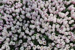 春天郁金香开花背景-郁金香Flovers的领域在新春佳节的 图库摄影
