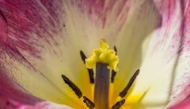 春天郁金香的宏观射击在绽放的 免版税库存图片