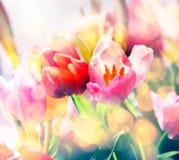 春天郁金香艺术性的退色的背景  免版税库存照片