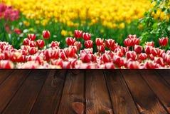 春天郁金香领域和木背景 库存图片