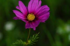 春天野花在草甸 库存图片