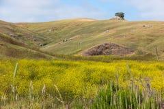 春天野花,加利福尼亚海岸范围 库存图片