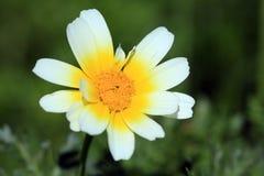 春天雏菊底视图 库存照片