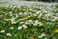 春天雏菊领域 库存图片
