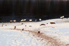春天雪和野生鸟 库存照片