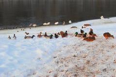 春天雪和野鸭 图库摄影
