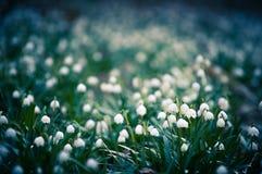 春天雪花开花开花,开花在森林的自然环境里,森林 与强的bokeh的春天背景 免版税库存照片