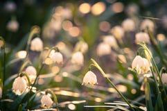 春天雪花开花开花,开花在森林的自然环境里,森林 与强的bokeh的春天背景 免版税图库摄影