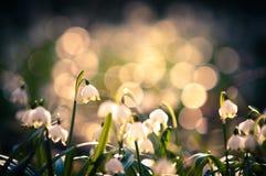 春天雪花开花开花,开花在森林的自然环境里,森林 与强的bokeh的春天背景 库存图片