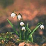 春天雪花花 leucojum vernum carpaticum美好开花在森林里开花有自然色的背景 库存图片