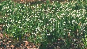 春天雪花花 leucojum vernum carpaticum美好开花在森林里开花有自然色的背景 免版税库存照片