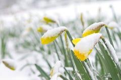 黄水仙在春天雪 免版税库存图片
