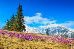 春天风景和美丽的番红花花, Fagaras山,喀尔巴汗,罗马尼亚 免版税库存照片