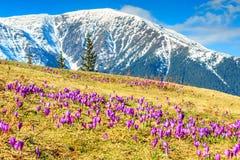 春天风景和美丽的番红花花, Fagaras山,喀尔巴汗,罗马尼亚 库存照片