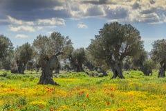 春天风景:与几百年的橄榄树小树林的农业领域在鸦片草甸和野花之间 图库摄影