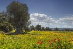 春天风景:与几百年的橄榄树小树林的农业领域在鸦片草甸和野花之间 免版税库存照片