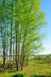 春天风景-在河附近的一点桦树森林春天晴朗的天气的 免版税库存照片