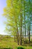 春天风景-在阳光下的小桦树树丛在河的河岸好晴朗的天气的 免版税库存图片