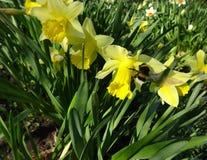 春天飞行土蜂在与黄色黄水仙的花床上 库存照片