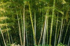 春天高大的树木竹子森林 热带森林,夏天自然 免版税图库摄影