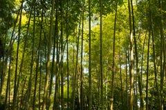 春天高大的树木竹子森林 阳光在热带森林里,夏天 免版税库存照片
