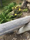 春天黄色开花的仙人掌 图库摄影
