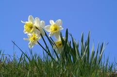 春天黄水仙 库存图片