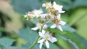 春天,在分支的黑莓灌木白花 股票视频