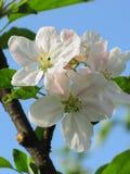 春天,在蓝天,背景的开花树 图库摄影