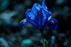 春天,在黑暗的背景的蓝色虹膜花 免版税图库摄影