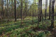 春天,太阳木头。 库存图片
