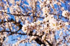 春天,开花和自然概念-美丽的杏仁开花 免版税库存图片