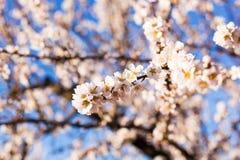 春天,开花和自然概念-美丽的杏仁开花 库存照片