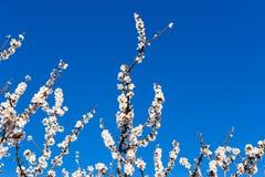 春天,开花和自然概念-美丽的杏仁开花 免版税图库摄影
