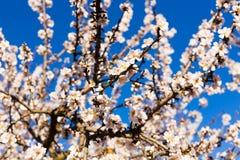 春天,开花和自然概念-美丽的杏仁开花 免版税库存照片